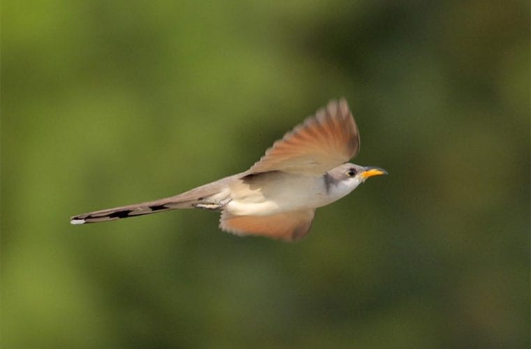 yellow billed cuckoo greg lavaty wildearth guardians