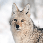 coyote profile in snow sam parks wildearth guardians