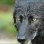 gray wolf Shanthanu Bhardwaj flickr wildearth guardians