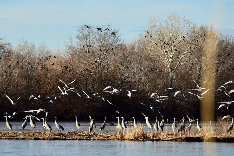 sandhill cranes crows rio grande abq galen hecht wildearth guardians