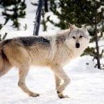 gray wolf macneil lyons nps wildearth guardians