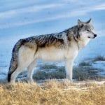 gray wolf tim springer wildearth guardians