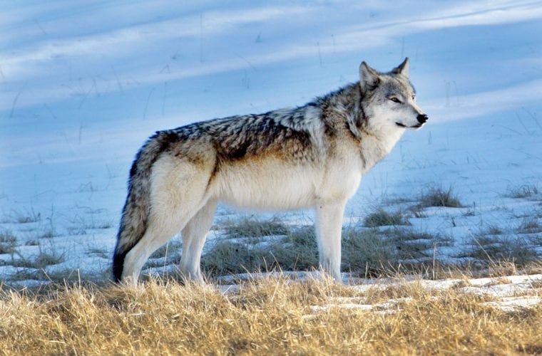 gray wolf tim springer wildearth guardians