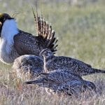 greater sage grouse jeannie stafford usfws wildearth guardians