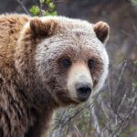 grizzly gregory slobirdr smith wikimedia commons wildearth guardians