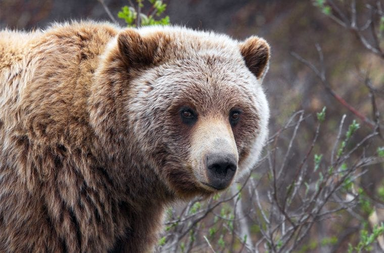 Suit Seeks to Restore Protections for Wildlife in Flathead National Forest