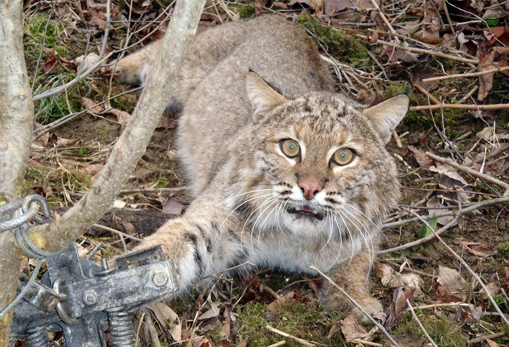 trapped bobcat born free usa wildearth guardians