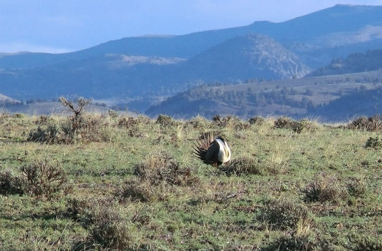 sage grouse blm oregon wildearth guardians