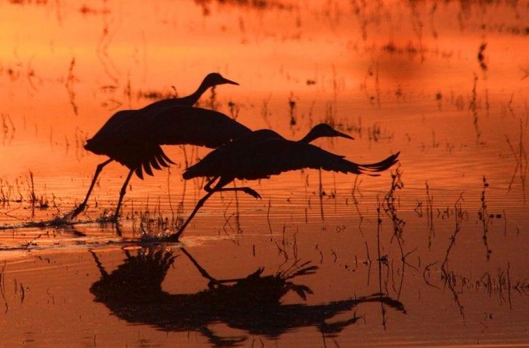 cranes bosque del apache marvin de jong usfws wildearth guardians