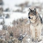 gray wolf sam parks wildearth guardians