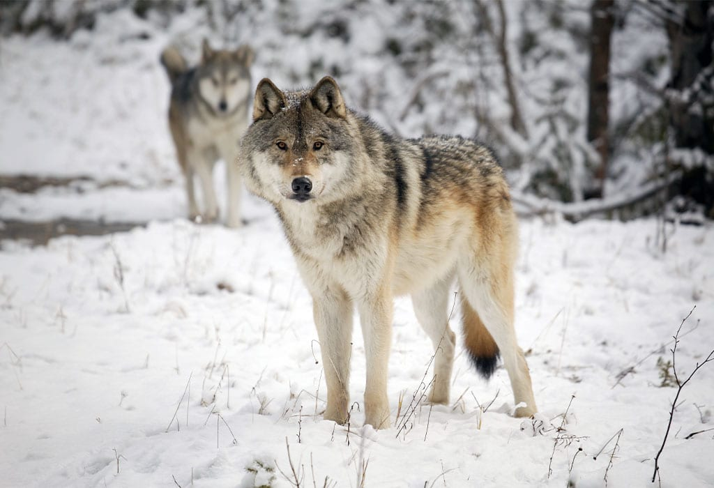 gray wolves in snow adobestock wildearth guardians