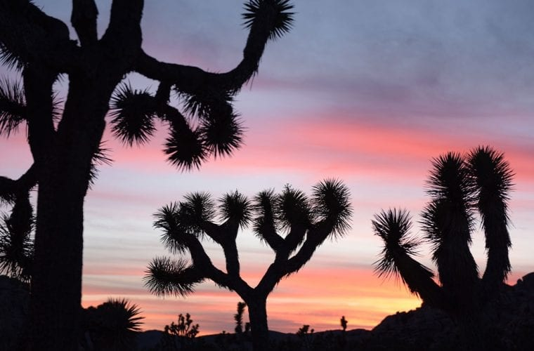 Nine reasons to save the Joshua tree