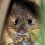 nm-meadow-jumping-mouse-jn-stewart-wildearth-guardians