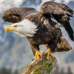 bald eagle andy morffew wikimedia commons wildearth guardians