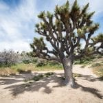 joshua tree renata harrison nps wildearth guardians
