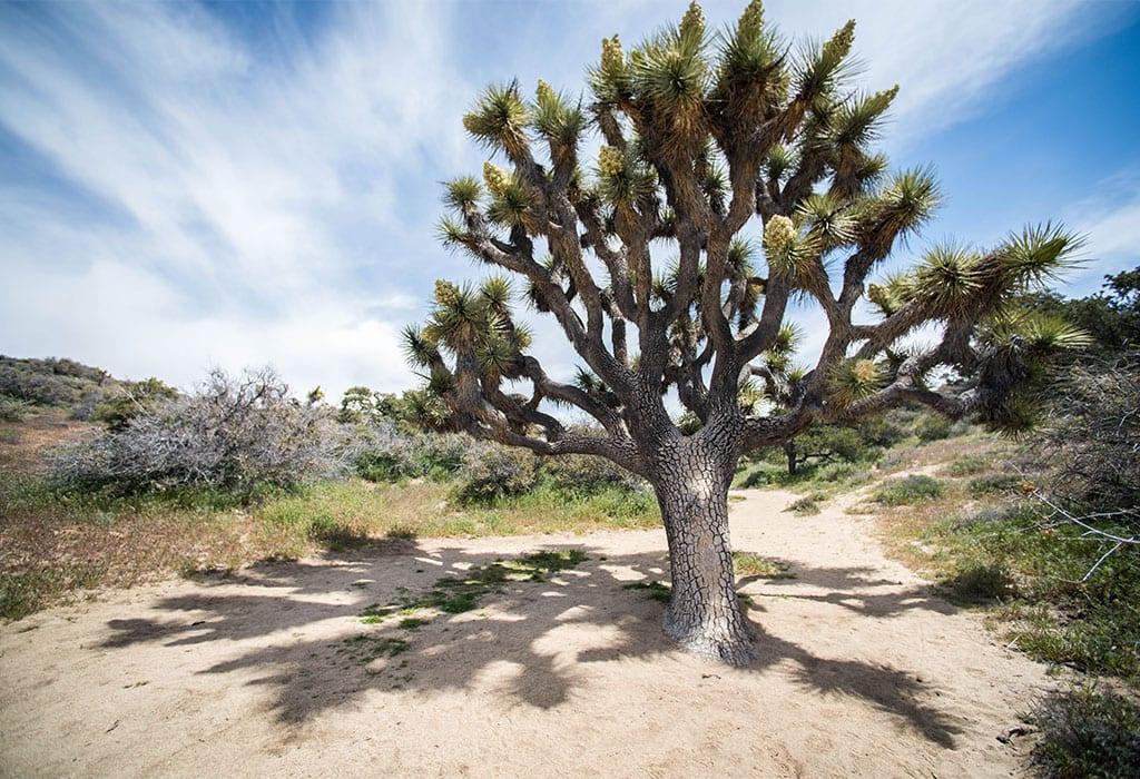 joshua tree renata harrison nps wildearth guardians