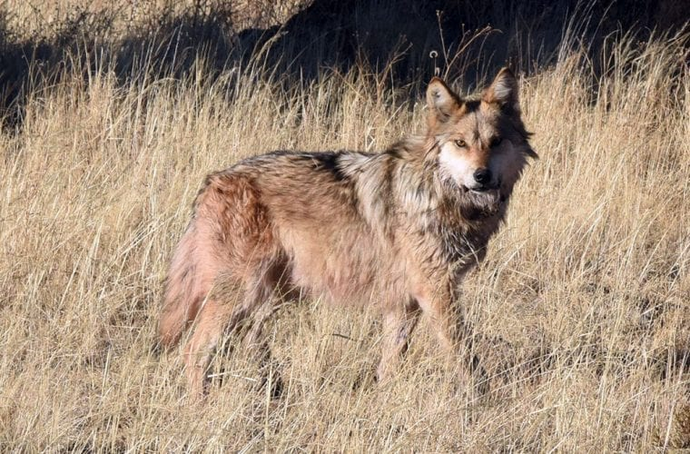 mexican wolf usfws wildearth guardians