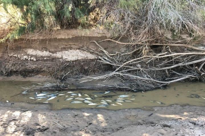dry Rio Grande silvery minnows WildEarth Guardians