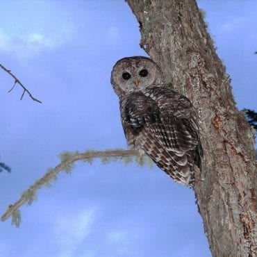 Victory for the Mexican Spotted Owl