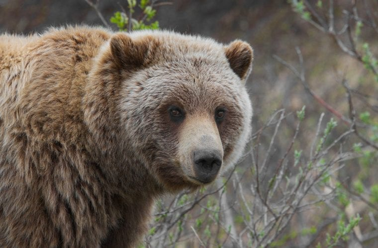 "Guardians Demands Burlington Northern Railway ""Brakes"" to Protect Grizzly Bears"
