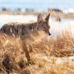 coyote jacob w frank nps wildearth guardians