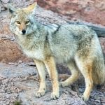 coyote neal herbert nps wildearth guardians