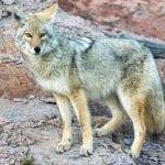 coyote neal herbert nps wildearth guardians