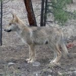 mexican wolf baby usfws wildearth guardians