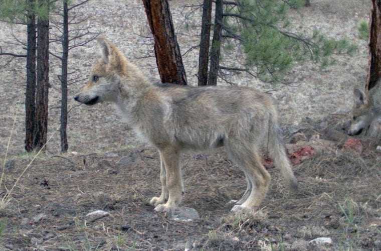 Wild endangered Mexican gray wolf pups trapped on Gila National Forest