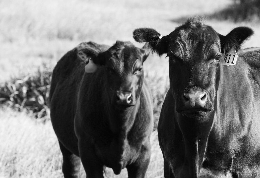 cattle-hammond-grazing-permit-suspended-wildearth-guardians-john-loo
