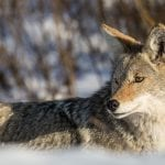 coyote nps neal herbert wildearth guardians