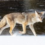 coyote running jacob w frank nps wildearth guardians