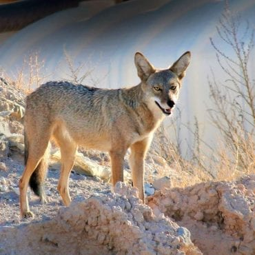 Challenging the Federal Government's Wildlife-Killing Program in Montana