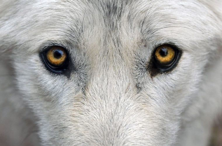 wolf eyes pxfuel.com wildearth guardians