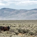 grazing cow blm oregon flickr wildearth guardians