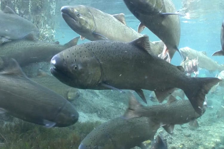 Conservation Groups Look to Protect Water for Salmon and Steelhead in Willamette River
