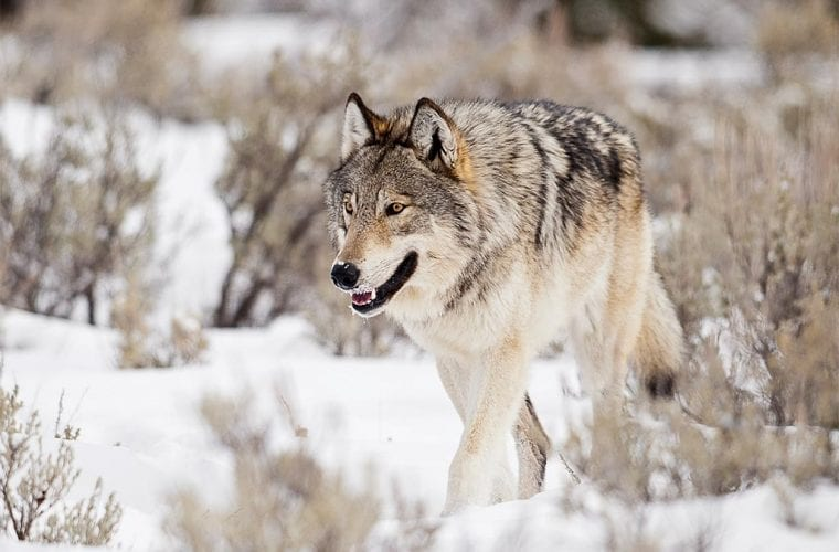 Idaho Agreement Restricts Wolf-Killing, Bans Use of Cyanide Bombs Statewide