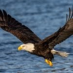 Bald Eagle Flight Water WildEarth Guardians Andy Morffew