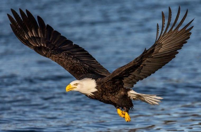 Bald Eagle Flight Water WildEarth Guardians Andy Morffew