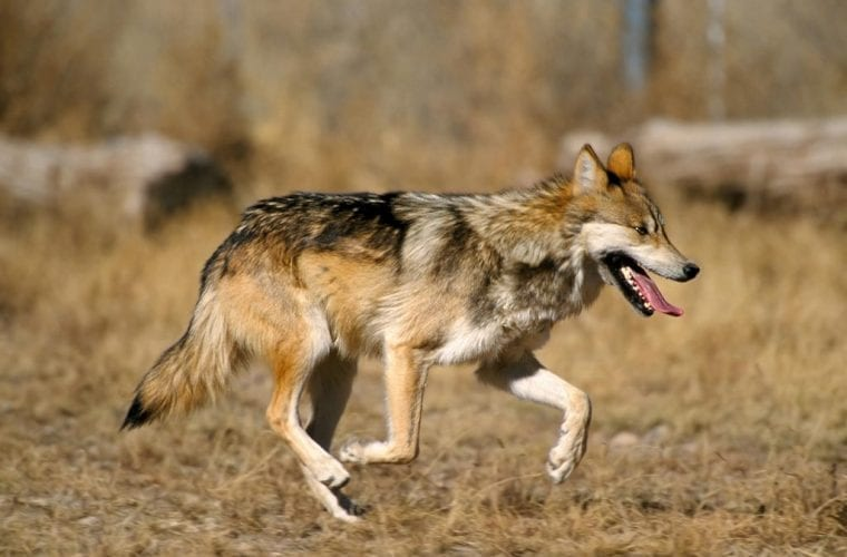 Wildlife Services killed four endangered Mexican gray wolves in late March