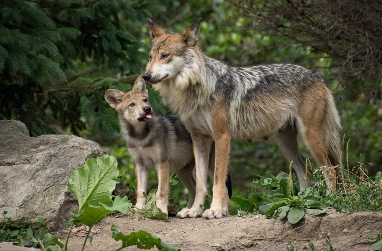 Your voices made a difference for Mexican gray wolves