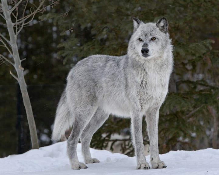Alpha-Female-wolf-pc-Ray-Rafiti.jpg