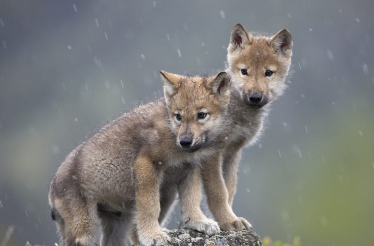 Ensure gray wolves have a future