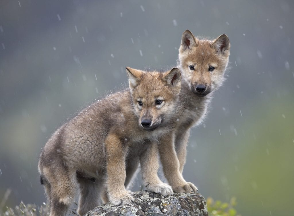 Idaho documents reveal weeks-old wolf pups among 570 maimed, slaughtered wolves