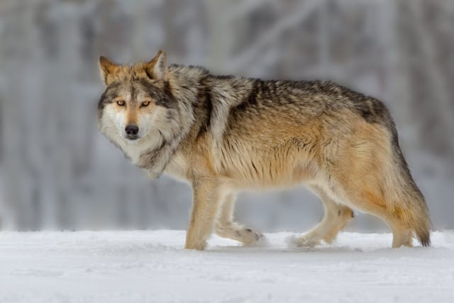 Compassion, Wolves and America's First Wilderness