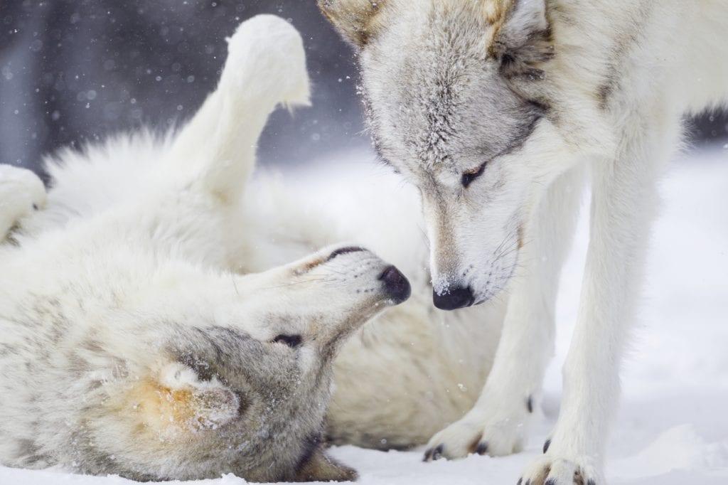 Gray wolves.