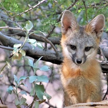 Challenging the Federal Government's Wildlife-Killing Program in New Mexico