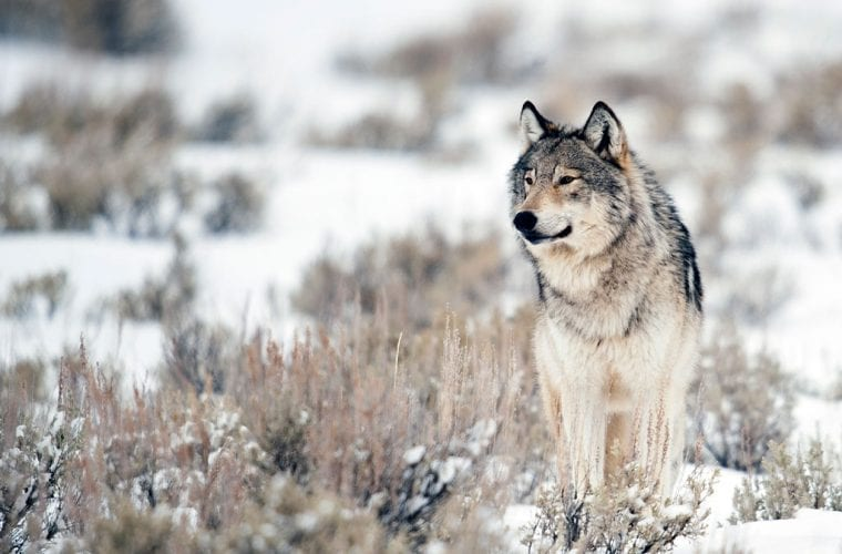 Help us ensure gray wolves have a future