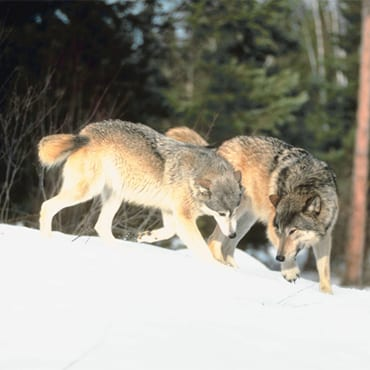 Gray wolves playing in snow