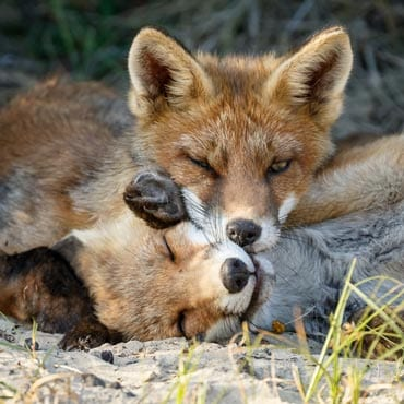 foxes cuddling wildearth guardians